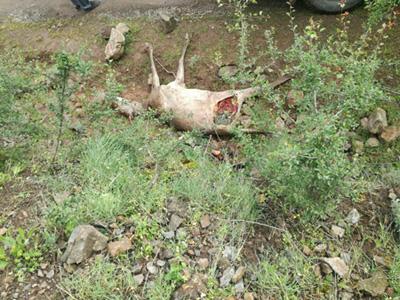 شکار دو مرال توسط پلنگ درمنطقه جنگلی سیاه بیشه آمل